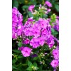 Bulbi Flox Purple Flame (Phlox)