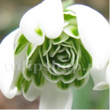 Bulbi Ghiocei Flore Pleno (Galanthus)