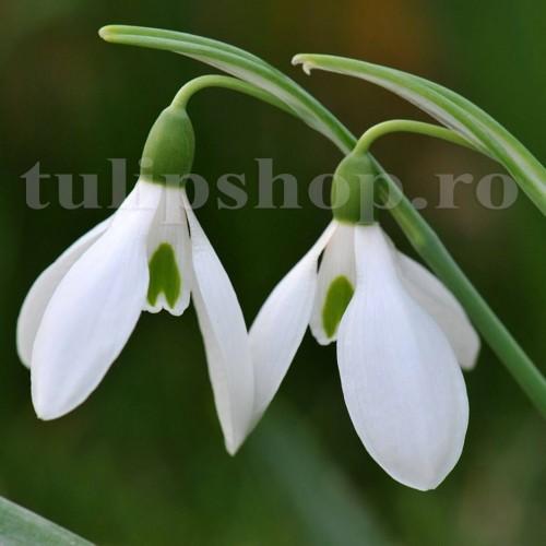 Bulbi Ghiocei Nivalis (Galanthus)