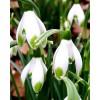 Bulbi Ghiocei Viridi-Apice (Galanthus)