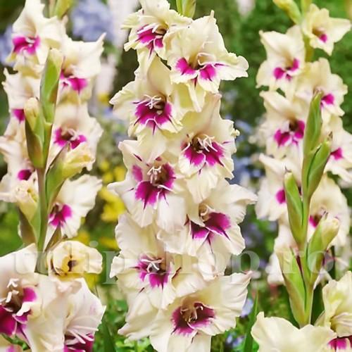 Bulbi Gladiole Amber Mistique