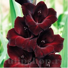 Bulbi Gladiole Black Star