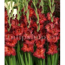 Bulbi Gladiole Chocolate