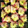 Bulbi Gladiole Conca Verde