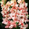 Bulbi Gladiole Frizzle Butterfly
