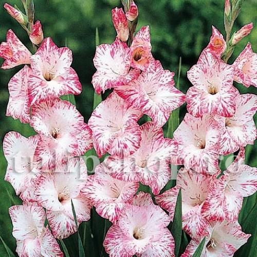 Bulbi Gladiole My Love