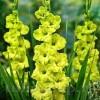 Bulbi Gladiole Prima Verde