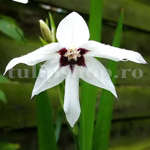 Bulbi Gladiole Stelate (Acidanthera)