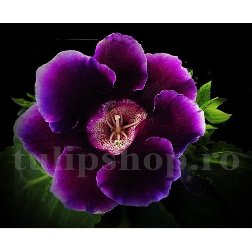 Bulbi Gloxinia Hollywood (Sinningia)