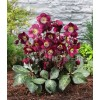 Bulbi Helleborus Purpurascens (Spanz)