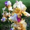 Bulbi Iris Autumn Years (Stanjenel)