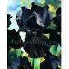 Bulbi Iris Black Night (Stanjenel)
