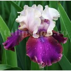 Bulbi Iris Burgermeister (Stanjenel)