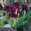 Bulbi Iris Cherry Garden (Stanjenel)