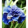 Bulbi Iris Concord Crush (Stanjenel)