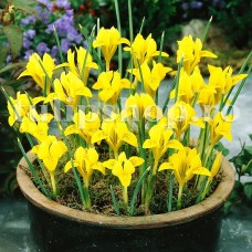 Bulbi Iris Danforda (Stanjenel)