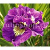 Bulbi Iris Double Standard (Stanjenel)