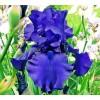 Bulbi Iris Dusky Challenger (Stanjenel)