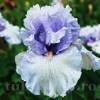 Bulbi Iris Fogbound (Stanjenel)