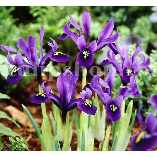 Bulbi Iris George (Stanjenel)