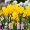 Bulbi Iris Golden Harvest (Stanjenel)