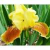 Bulbi Iris Golden Muffin (Stanjenel)