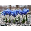 Bulbi Iris Harmony (Stanjenel)