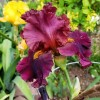 Bulbi Iris Hearty Burgundy (Stanjenel)