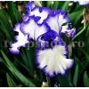Bulbi Iris Loop the Loop (Stanjenel)