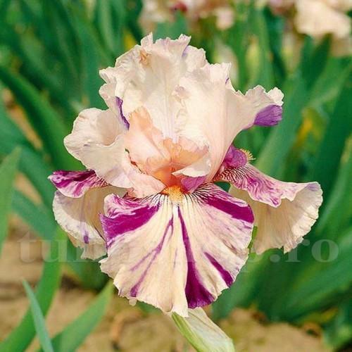 Bulbi Iris Peach Jam (Stanjenel)