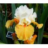 Bulbi Iris Pumpkin Cheesecake (Stanjenel)