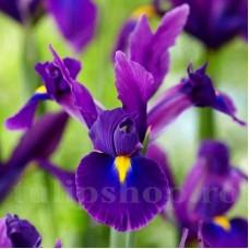 Bulbi Iris Purple Sensation (Stanjenel)