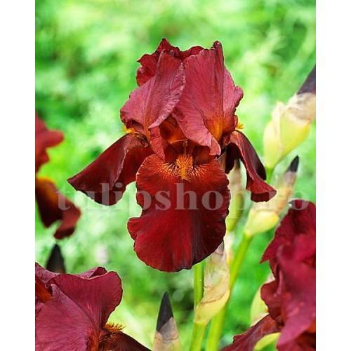 Bulbi Iris Red Zinger (Stanjenel)