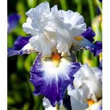 Bulbi Iris Ruban Bleu (Stanjenel)