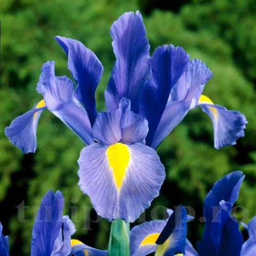 Bulbi Iris Sapphire Beauty (Stanjenel)