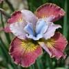 Bulbi Iris Sugar Rush (Stanjenel)