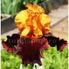 Bulbi Iris Supreme Sultan (Stanjenel)