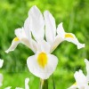 Bulbi Iris White Excelsior (Stanjenel)