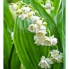 Bulbi Lacramioare Duble Prolificans (Convallaria)