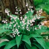 Bulbi Lacramioare Rosea (Convallaria)