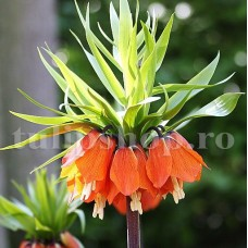 Bulbi Lalea Imperiala Aurora (Fritillaria)