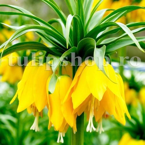 Bulbi Lalea Imperiala Lutea (Fritillaria)