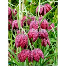 Bulbi Lalea Imperiala Meleagris (Fritillaria)