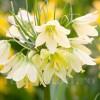 Bulbi Lalea Imperiala Raddeana (Fritillaria)