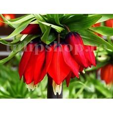 Bulbi Lalea Imperiala Rubra Maxima (Fritillaria)