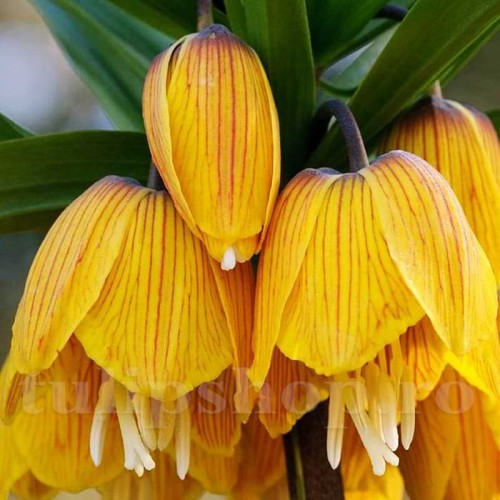 Bulbi Lalea Imperiala Striped Beauty (Fritillaria)