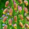 Bulbi Lalea Imperiala Uva Vulpis (Fritillaria)
