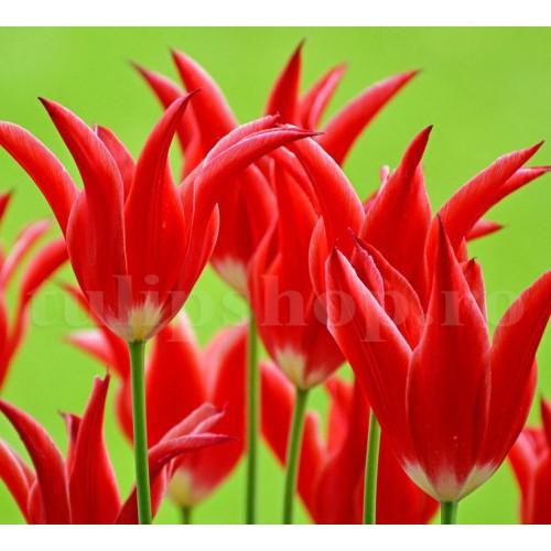 Bulbi Lalele Aladin (Tulip)