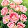 Bulbi Lalele Angelique (Tulip)
