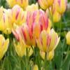 Bulbi Lalele Antoinette (Tulip)